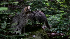 European wild cat sitting in pine forest and kitten passing by - stock footage
