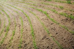Bent cornfield terrain - stock photo