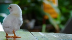 Two day old chick new born Stock Footage