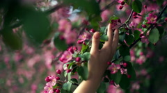 Woman hands cherishes a tender apple blossom truss Stock Footage
