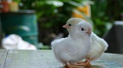 Two day old chicks Stock Footage