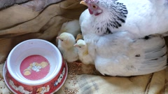 Two day old chicks owner touch feel the love Stock Footage