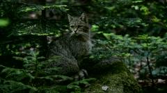 European wild cat (Felis silvestris silvestris) sitting in pine forest Stock Footage