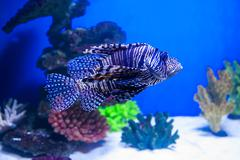 Fish lionfish in the aquarium on the blue background with Red sea Stock Photos