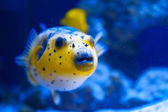 Fugue yellow fish predator of the Red Sea - stock photo