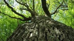 old oak in springtime - stock footage