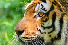 Wild Young Tiger (Panthera Tigris) Portrait Kuvituskuvat