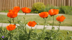 Poppies in bloom in a suburban garden. Shallow depth of field. Stock Footage