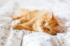 Cute ginger cat lying in bed. Fluffy pet looks curiously. Cozy home backgroun - stock photo
