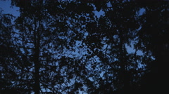 Tree silhouettes at dusk. Deciduous and coniferous trees. - stock footage