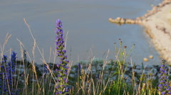 Blueweed in full blossom with ocean in the background Stock Footage