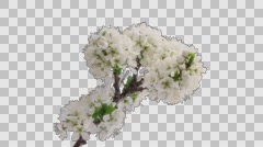 Cherry-tree flowers blooming, Time-Lapse with alpha channel Stock Footage
