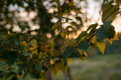 Leaves of birch tree lit thorough by sun shining through summer. Background Stock Photos