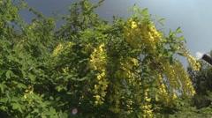 Laburnum in the summer sun Stock Footage