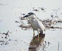 Black Crowned Night Heron - stock photo