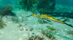 Weedy Seadragon Sea Dragon Stock Footage