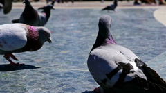 Pigeons walking in Placa de Catalunya, Barcelona Stock Footage