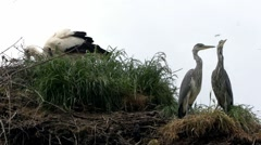 Young grey heron on a nest Stock Footage