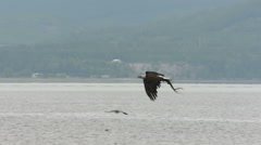 Bald Eagle In Flight With Seaweed - stock footage