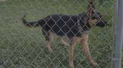 German Shepherd Dog barking behind fence Stock Footage