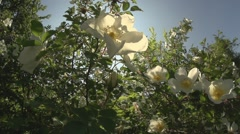 Wild rose sliding Stock Footage