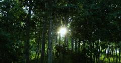 Sunset mountain Aspen tree forest sun rays DCI 4K - stock footage