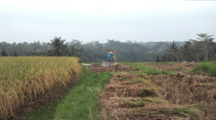Indonesian man farmer sifting rice in the field during harvest in Ubud, Bali Stock Footage