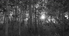 Sunset sun rays through mountain Aspen forest BW DCI 4K 800 Stock Footage