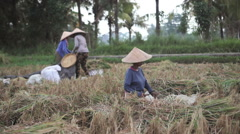Women cutting and sifting rice in the fields while moped passes by in Ubud, Bali - stock footage