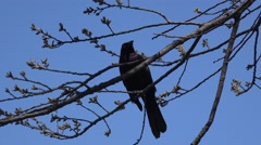 Iridescent male Of Common Grackle (Quiscalus quiscula) in the NYC Central Park. Stock Footage