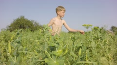 Boy reaching for the tasty green peas. - stock footage