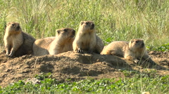 Marmots Big Family Bask in the Sun Near His Home Burrow. Wild Steppe Summer Arkistovideo
