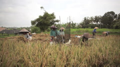 Group of indonesian women threshing, harvesting, sifting rice in a field in Bali Stock Footage