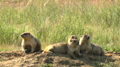 Family of Marmots in the Wild Steppe Summer Near His Home. Close-Up. Four Arkistovideo