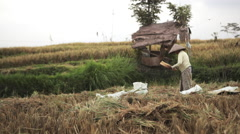 Indonesian woman farmer sifting rice in the field during harvest in Ubud, Bali Stock Footage