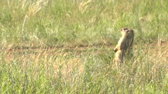 Young Marmot Runs to His Family on the Wild Steppe. Stock Footage