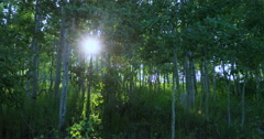 Sunset through mountain Aspen forest DCI 4K Stock Footage
