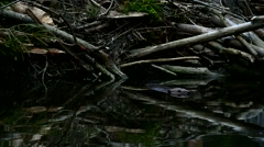 Beaver swimming in front of lodge in pond at dusk Stock Footage
