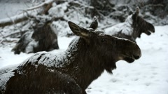 Moose cow with two calves ruminating in the snow during snowstorm in winter Stock Footage