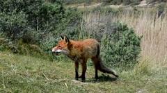 Red fox (Vulpes vulpes) in grassland - stock footage