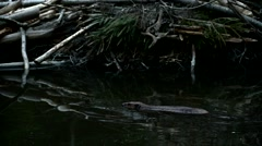 Beaver swimming in pond in front of lodge at dusk - stock footage