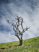 Tree with no leaves on hillside - stock photo