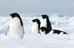 Adelie penguins on the ice floe in the southern ocean, 180 miles north of East - stock photo