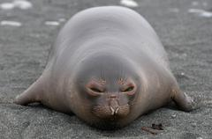An Elephant Seal pup (weaner) on the beach, north east side of Macquarie Island, Stock Photos