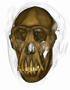 Colorized CT scan of a chimpanzee skull - stock illustration
