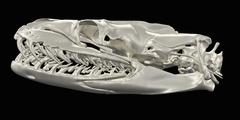 Python skull image from a CT scan Stock Illustration