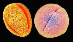 SEM of peony (left) and castor bean (right) pollen Stock Photos