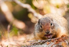 Yellow bellied marmot (Marmota flaviventris), Kokanee Glacier Provincial Park in Stock Photos