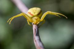 Goldenrod Crab Spider, Misumena vatia, Marin County, California, USA - stock photo