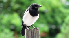 Magpie on board fence - stock footage
